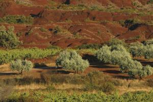 Vignes et oliviers sur ruffes